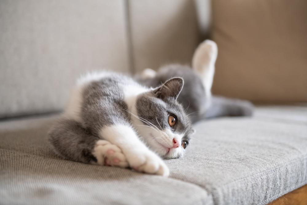 ソファーで伸びをする猫