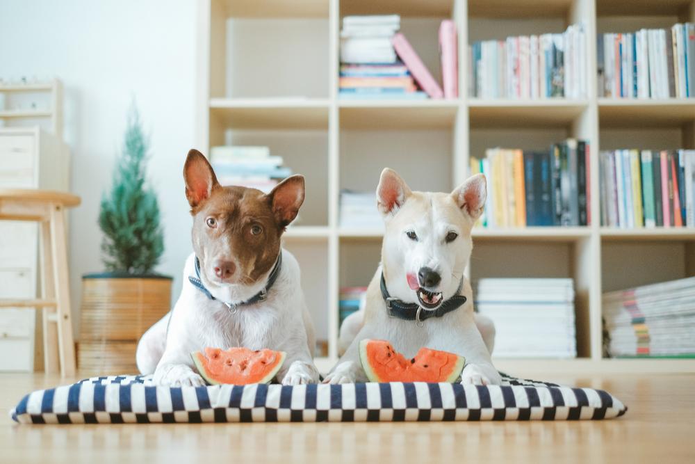 スイカを食べる犬たち