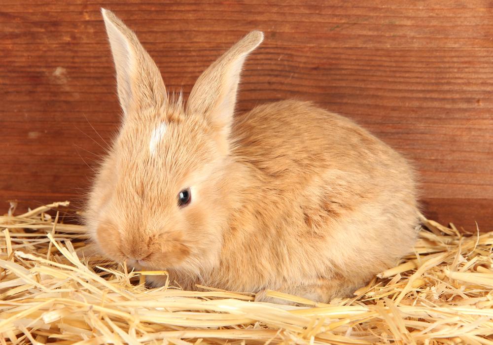小さいウサギ