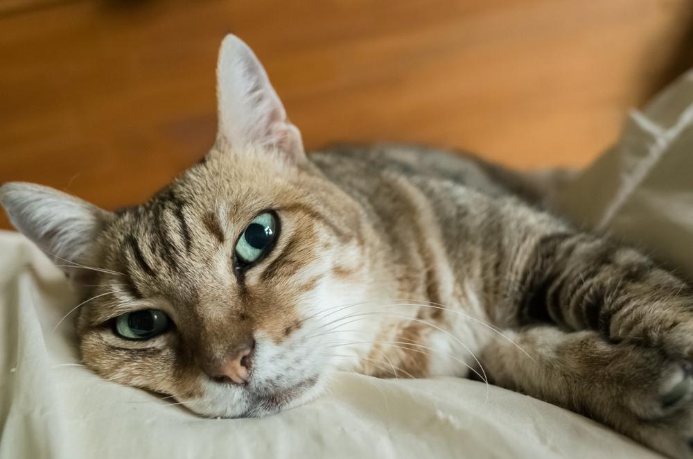 ベッドで休む猫