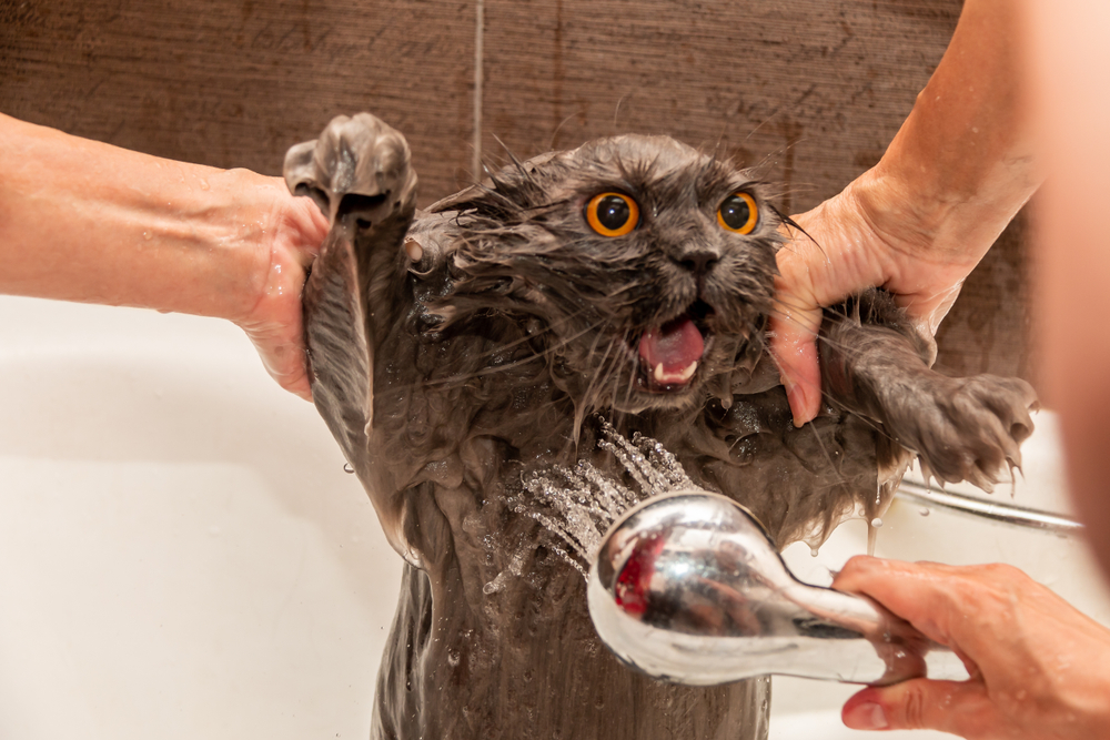 シャワーに驚く猫