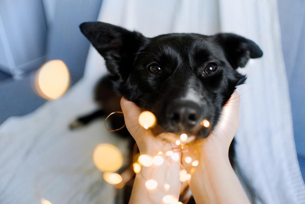 ライトを噛む犬