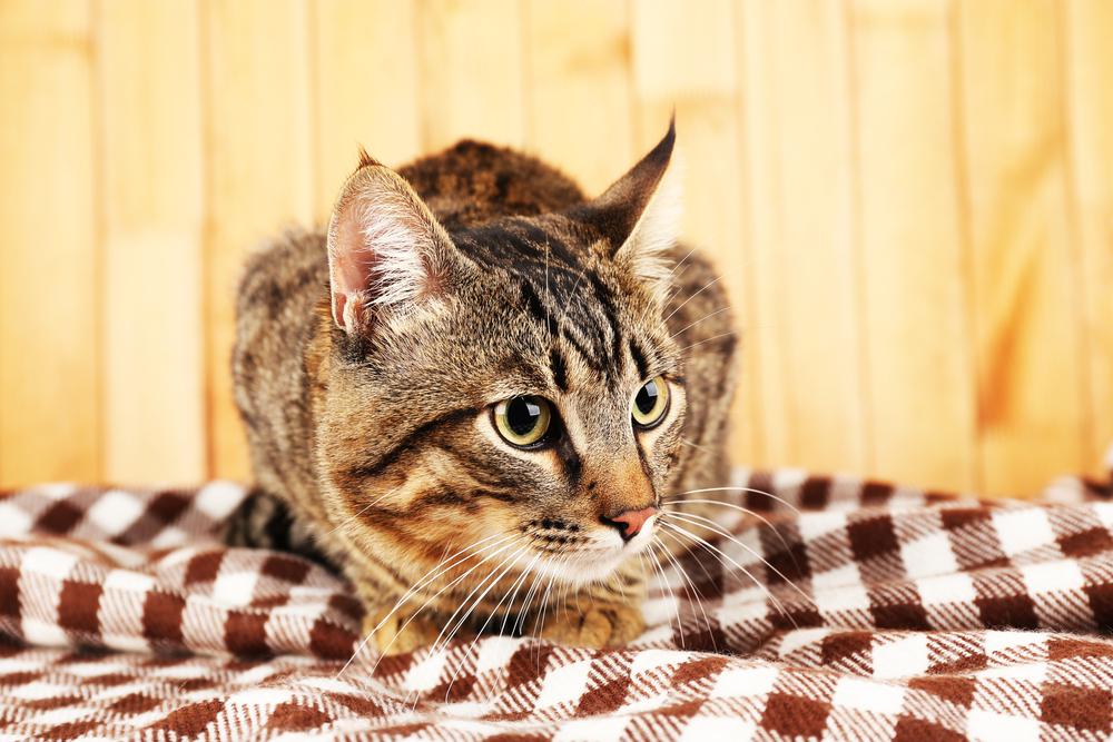 ブランケットの上に座る猫