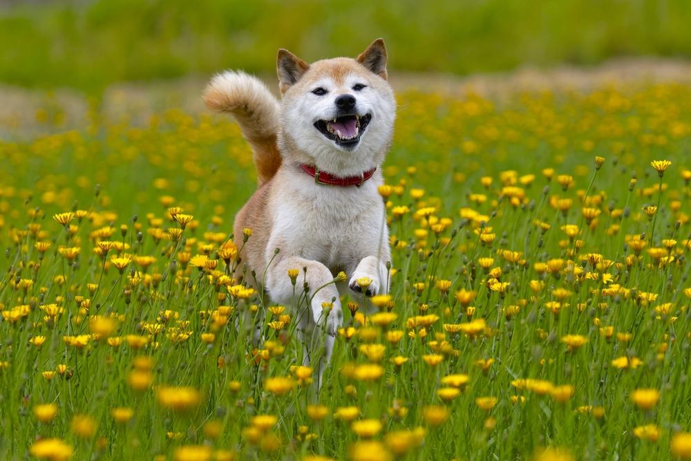 花畑を走る日本犬