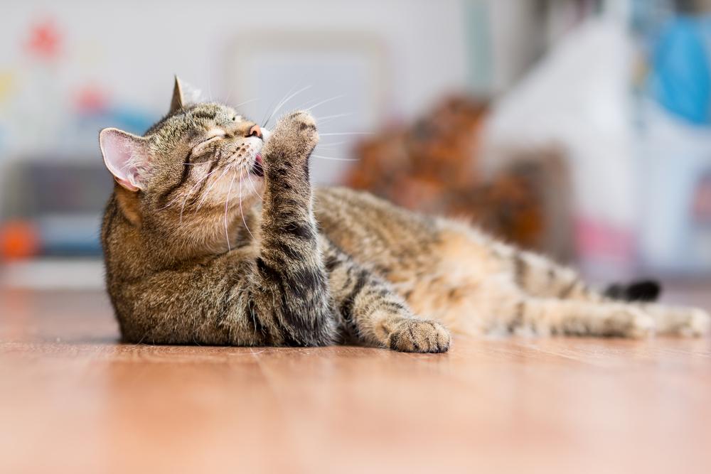 手を舐める猫