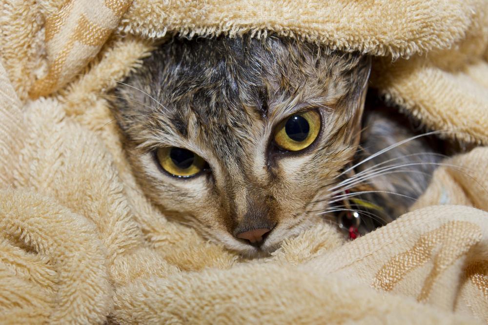 タオルに包まる猫