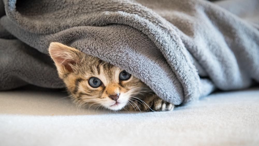 毛布をかぶる猫