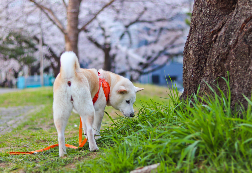 桜の木の下を散歩する柴犬