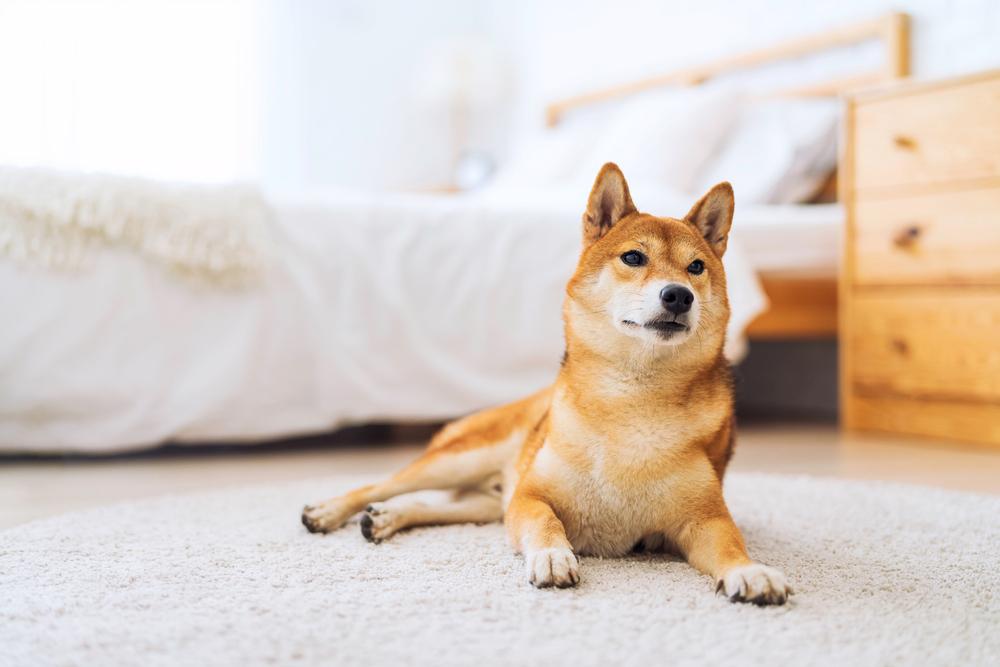 部屋で座る柴犬
