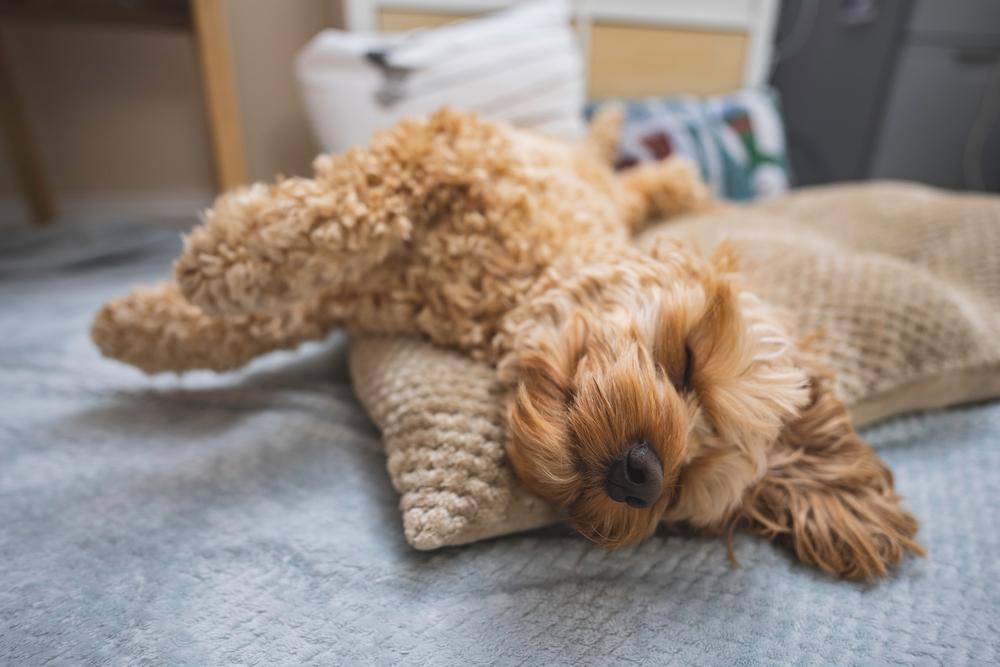 ひっくり返って寝る犬 トイプードル