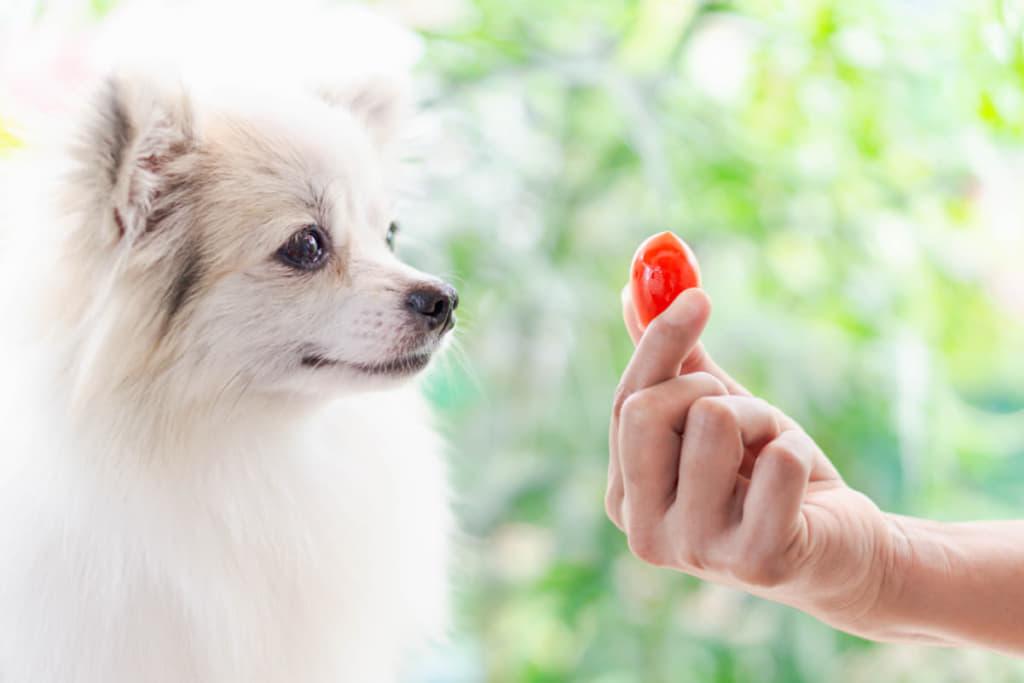 トマトを見つめる犬
