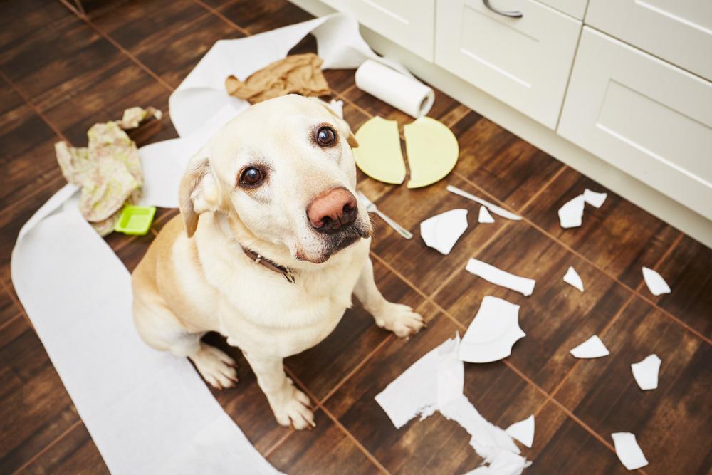 いたずらをしたラブラドールレトリバー犬