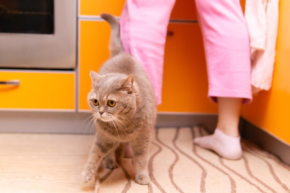 キッチンでおねだりするグレーの猫