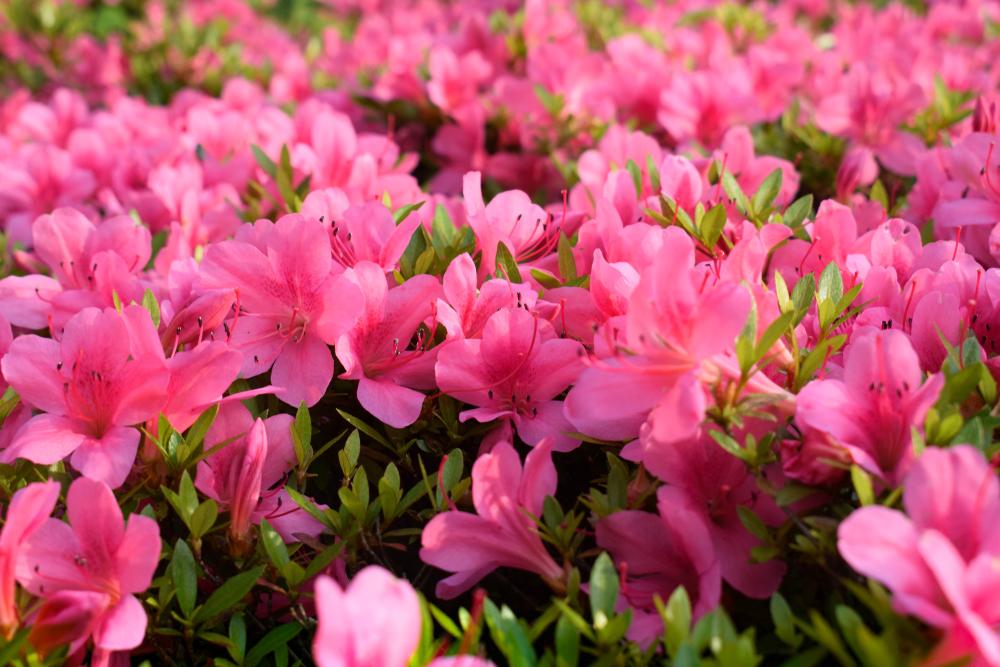 ピンク色のつつじ