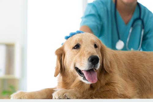 動物病院にいるゴールデンレトリバー犬