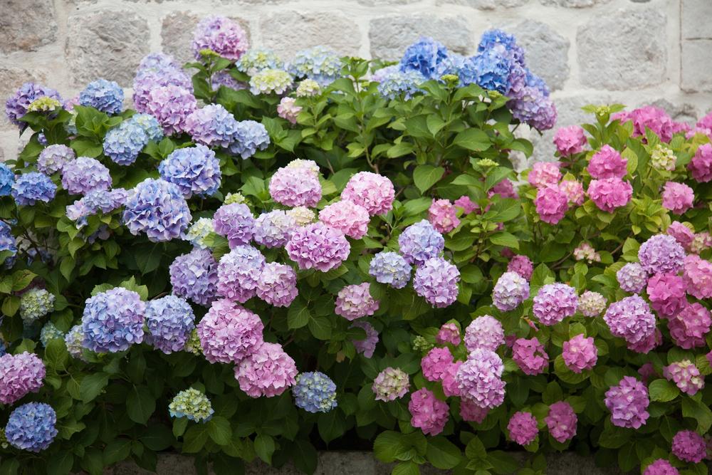 カラフルな紫陽花の花 アジサイ