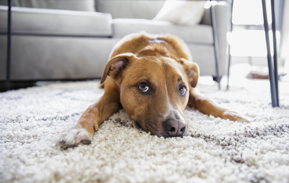 ラグの上で寝る中型犬