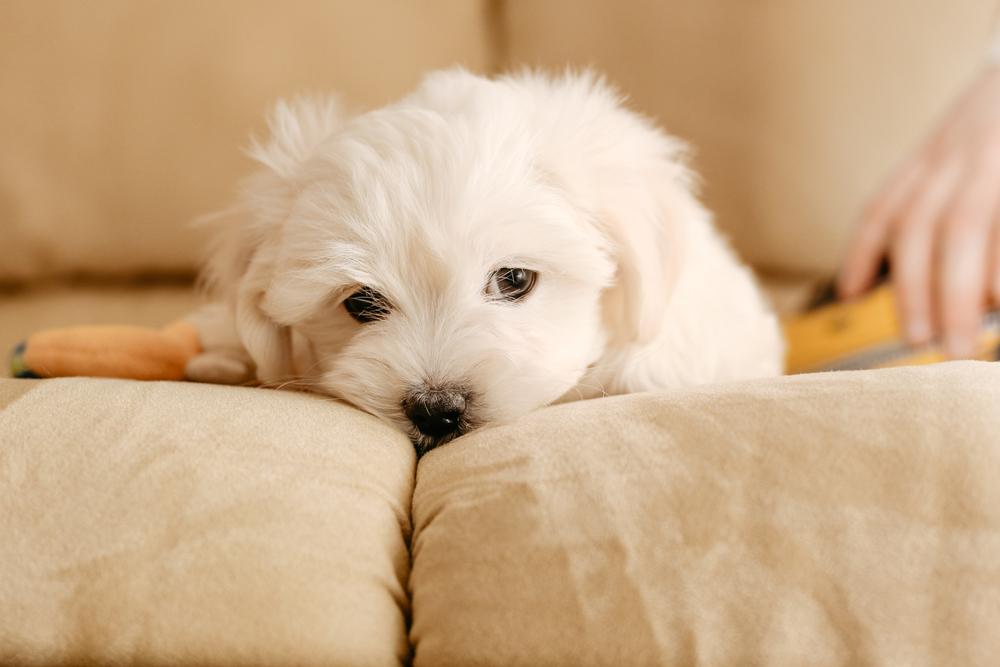 ソファに寝るマルチーズ犬